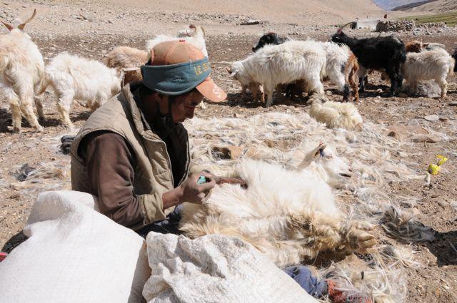 La capra pashmina viene pettinata per raccogliere il cashmere. Il cashmere migliore e di migliore qualità si chiama pashmina. La pashmina di cashmere è il diamante delle fibre