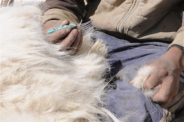 The pashmina down cashmere is obtained by combing the pashmina goat