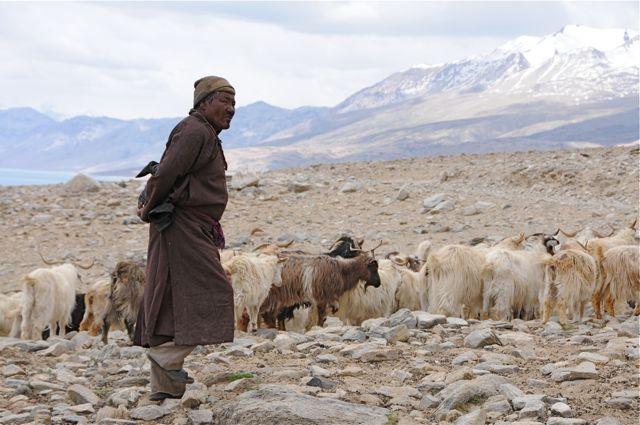 Les chèvres pashmina donnent un cachemire très fin dont la meilleure qualité est appelée pashmina