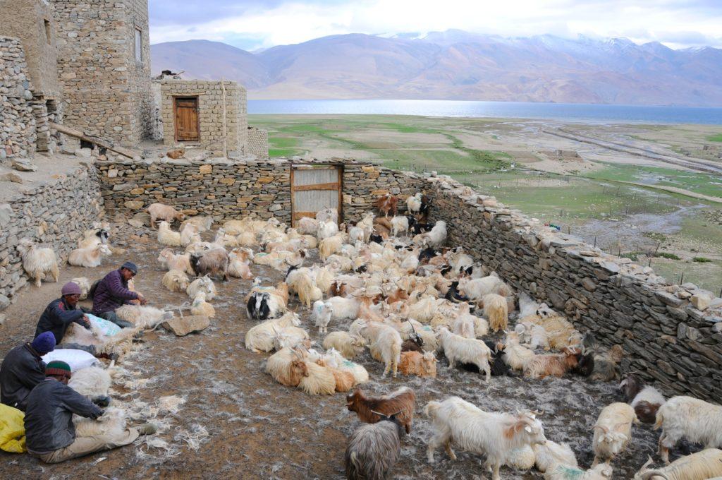 Les bergers nomades Chang-Pa reviennent l'été sur les rives du lac Tso-Moriri à 4500m d'altitude afin de récolter le Pashmina